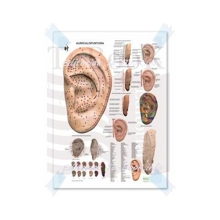 Poster Auriculoterapia - Auriculopuntura