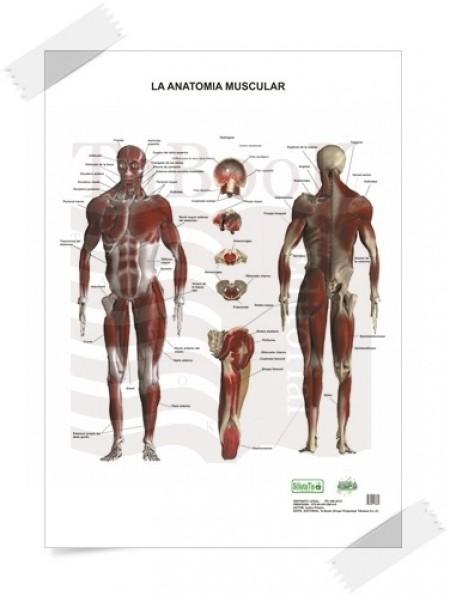 Poster de Anatomía muscular